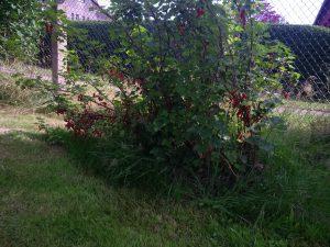 Rote Johannisbeeren, von Freunden geschenkt bekommen. Wurde im Oktober umgesetzt.