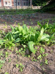 Spinat ... dieses Jahr experimentell, nächstes Jahr deutlich eher und deutlich mehr