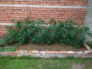 Die Tomaten. Das Bild ist vom 22. - heute sind die noch buschiger und mit viel mehr Blüten.